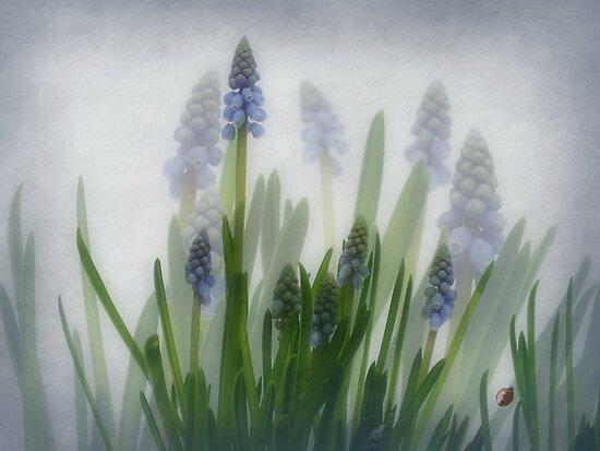 Muscari, grape hyacinths, blauwe druifjes, Traubenhyazinthe,Muscari en grappe  by Yool