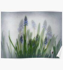 Muscari, grape hyacinths, blauwe druifjes, Traubenhyazinthe,Muscari en grappe  Poster
