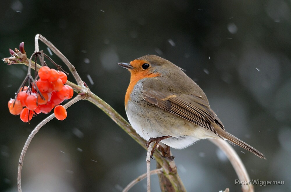 Robin in winter I by Peter Wiggerman
