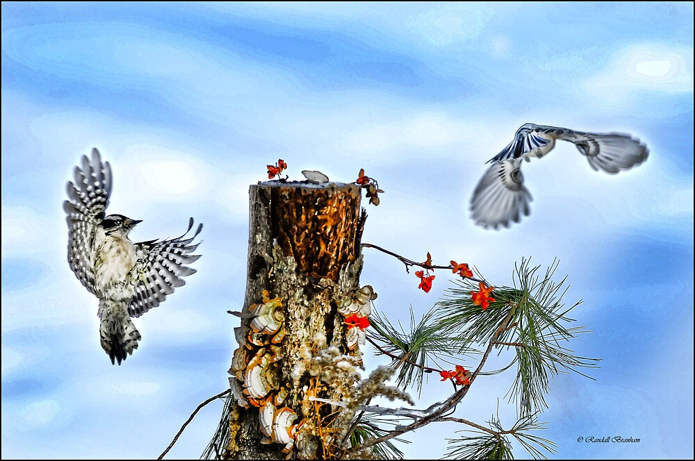 Downy and Titmouse playing on Lichen Stump by Randy Branham