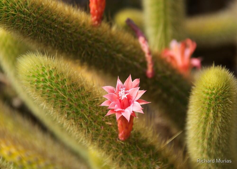 Flowering Cactus by Richard Murias
