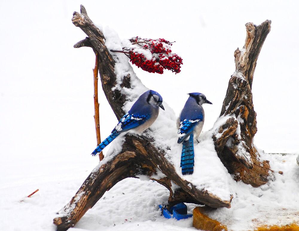 Blue jays in Winter by Randy Branham