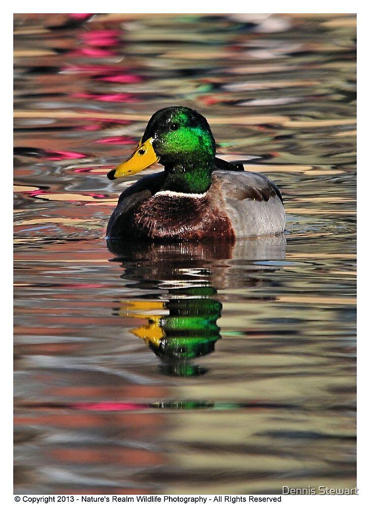 Duck- Mallard Male 2013 by Dennis Stewart