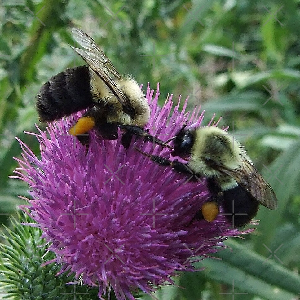 Two Bumble Bees On Bull Thistle by BavosiPhotoArt