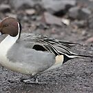 Pintail by Dennis the Elder