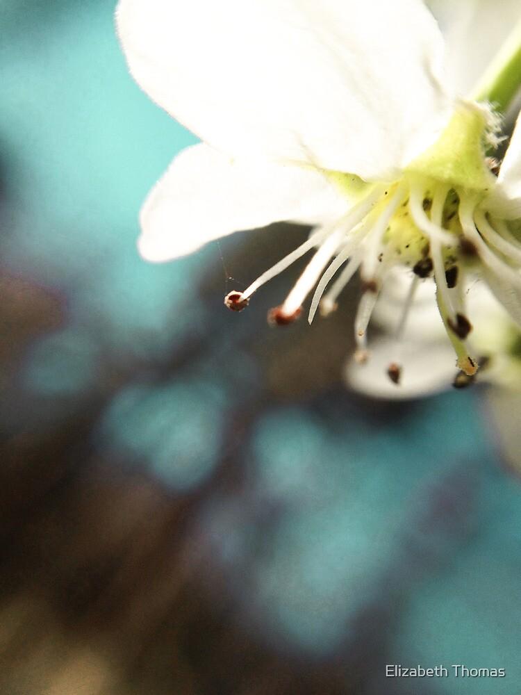 Bradford Pear Flower by Elizabeth Thomas
