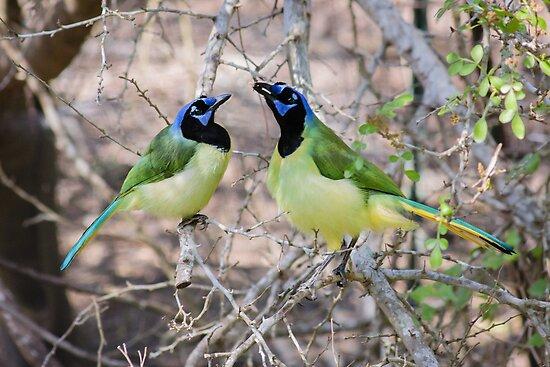 Loving Green Jays by Robert Kelch, M.D.