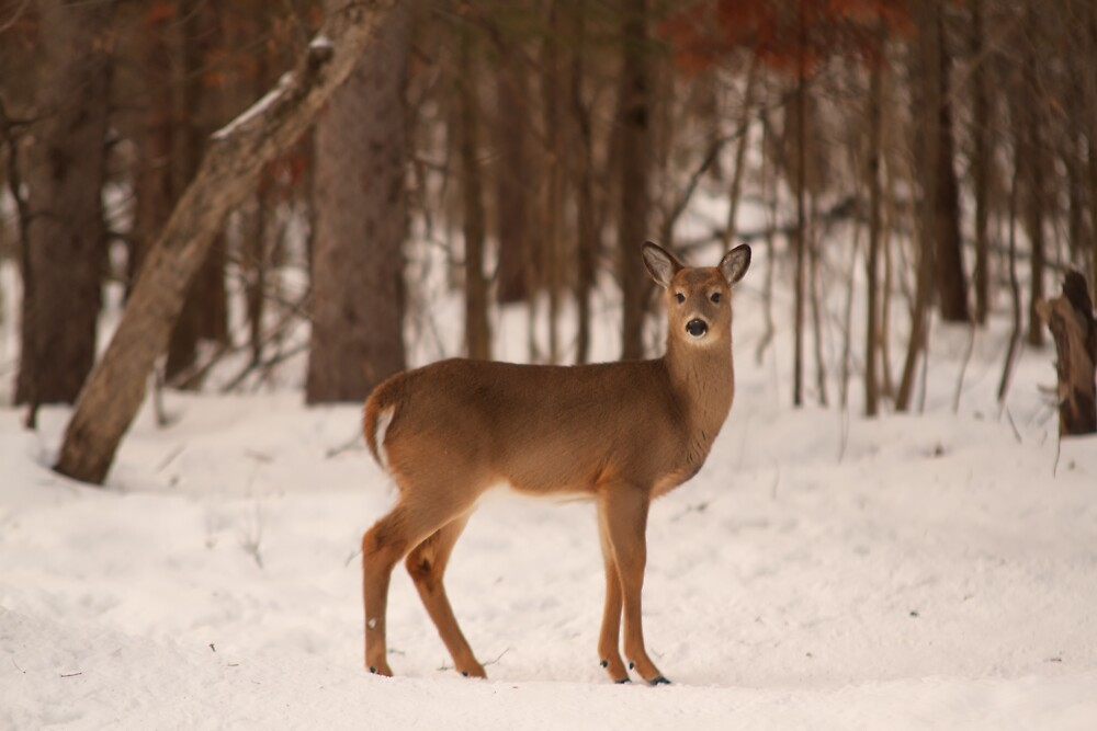 Doe - Ottawa, Canada by Josef Pittner