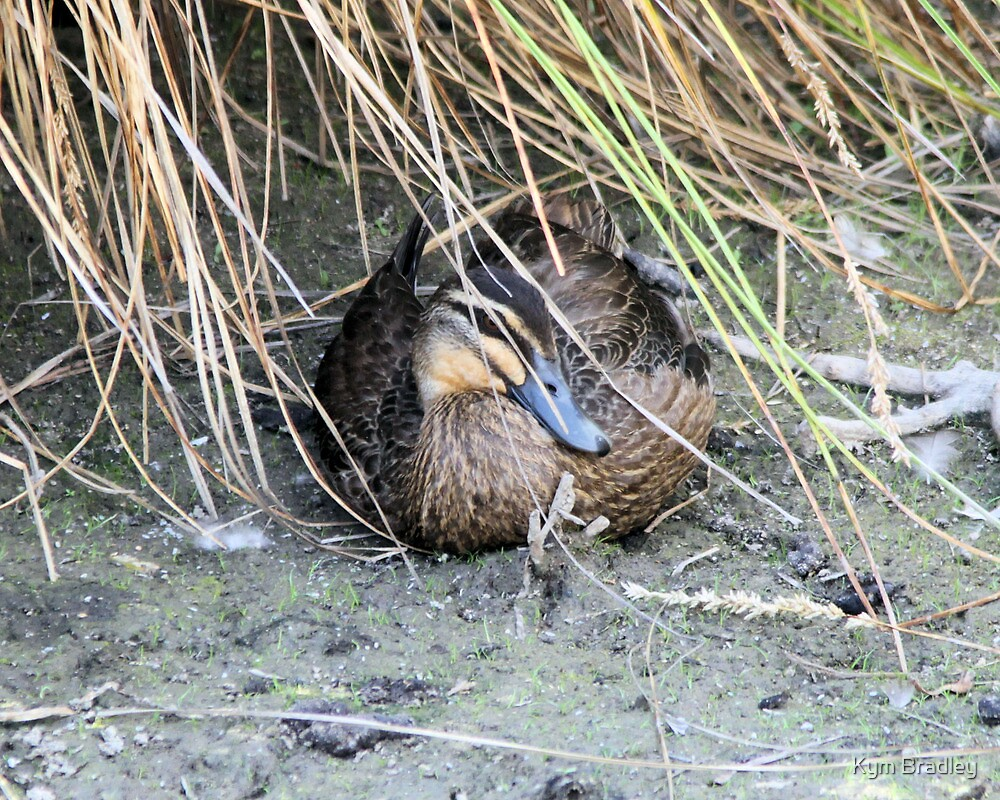 A Place To Hide Out Of The Heat  Duck by Kym Bradley