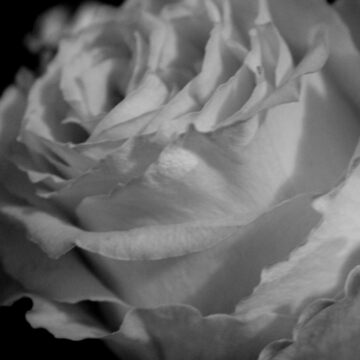 Rose In Black And White by busyb