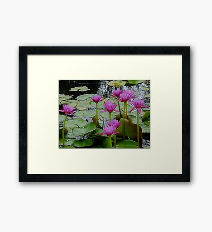 Pink Water Lilies Framed Print