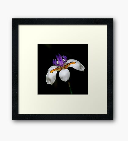 New Zealand Lily Framed Print
