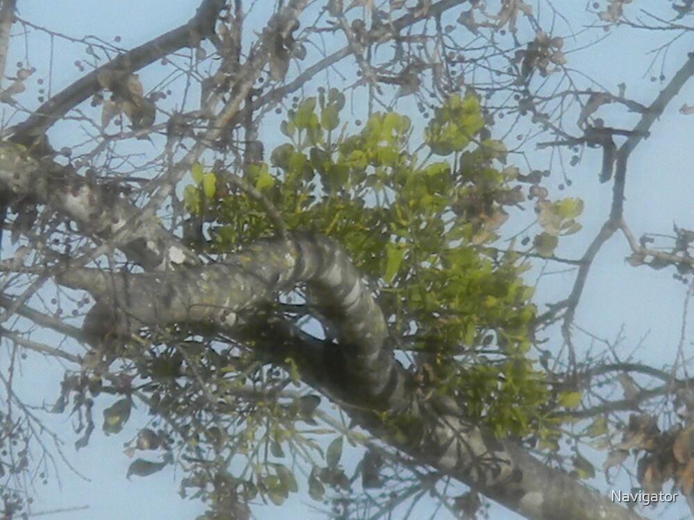 Mistletoe Green by Navigator