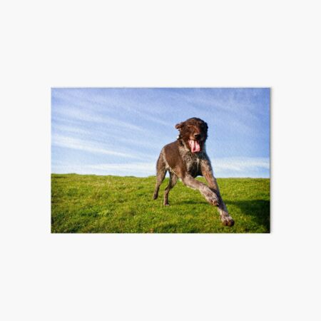 Super happy German Wirehaired Pointer Fly-by Art Board Print