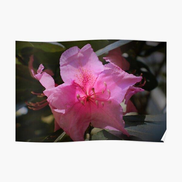 Rhody blossom Poster