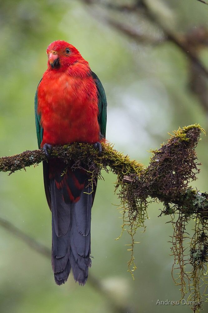 Damp King Parrot by Andrew Durick