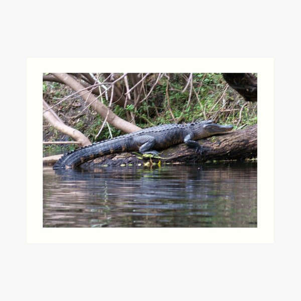 Gators on the Bank Art Print