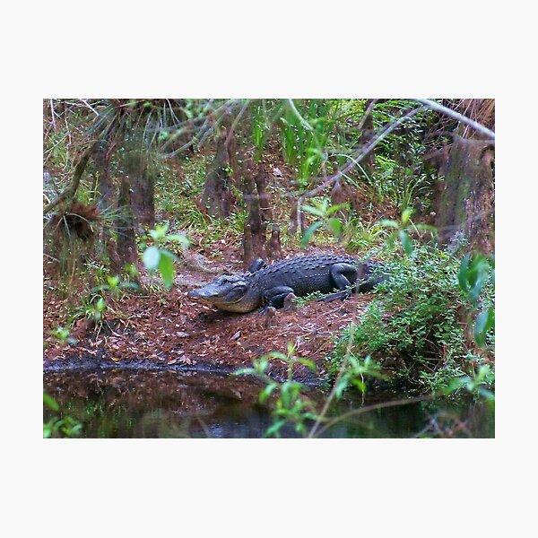 Gators on the Bank 1 Photographic Print