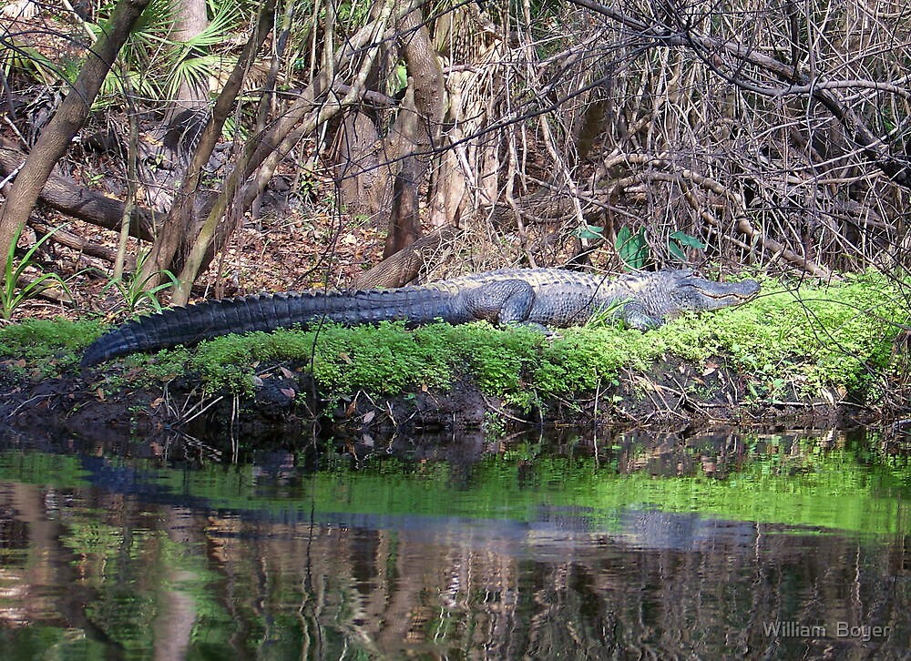Gators on the Bank 2 by William  Boyer