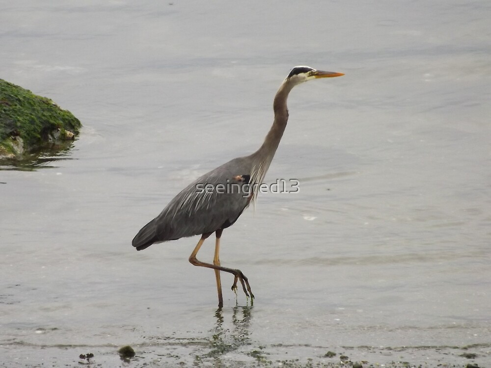 Wading in the Rain with the Great Blue Heron by seeingred13