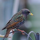 Starling by relayer51