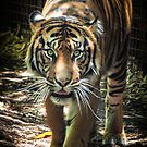 Sumatran Tiger - Melbourne Zoo Jan 2013 by James Millward