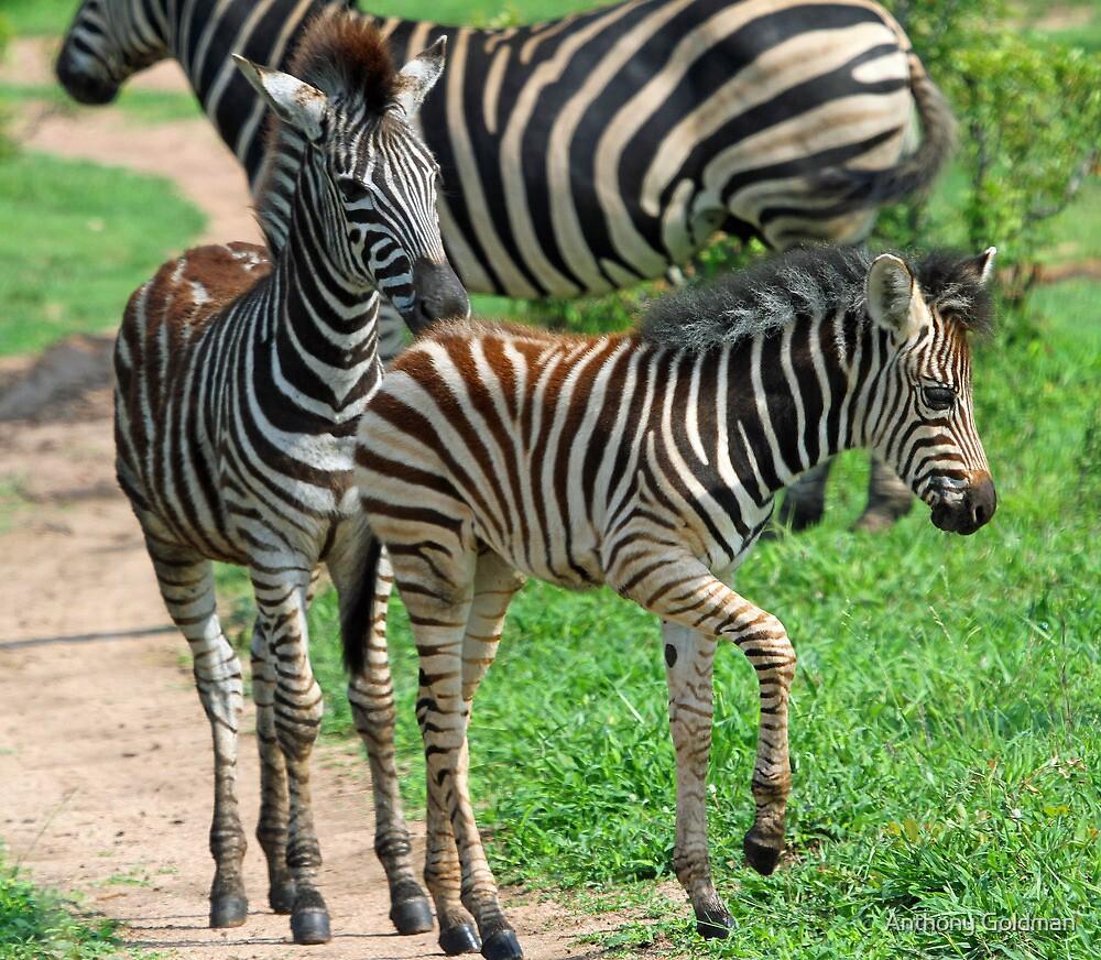 Young Zebras by Anthony Goldman
