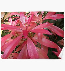 Red leaf bracts on pieris  Poster