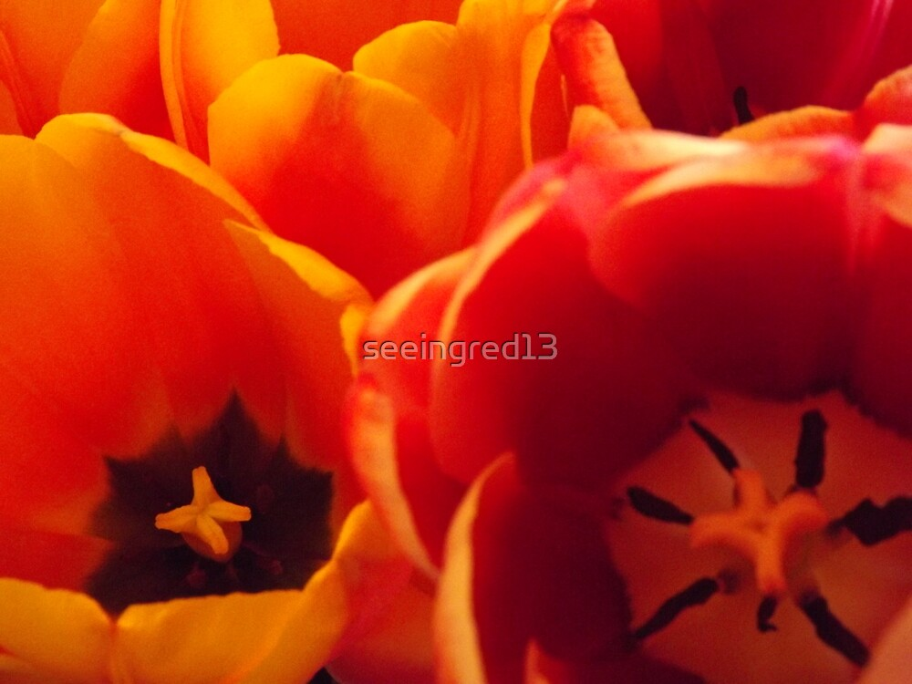 Vibrant Orange & Gold Tulips by seeingred13