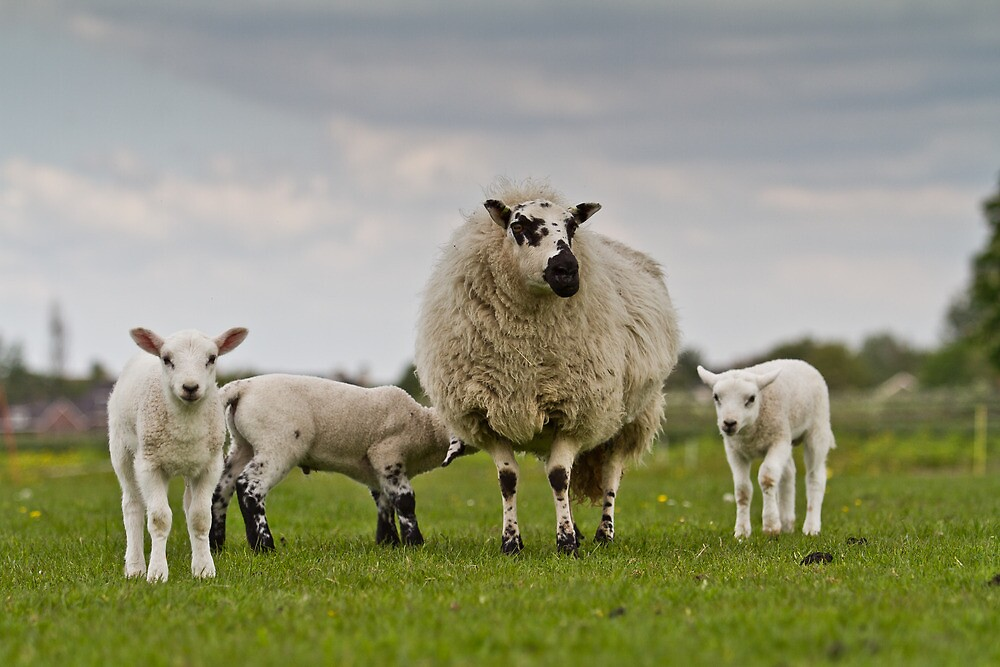 Sheep and lambs by JanPasschier