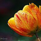 Rain Drops on Tulip by DuncanPenfold