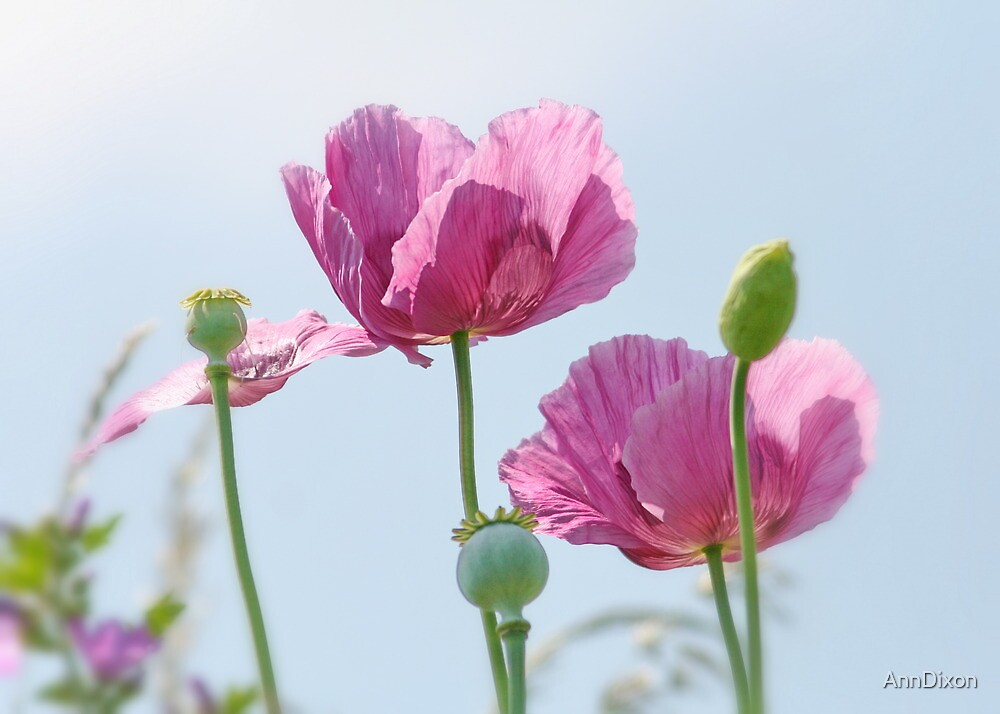 Wild Pink Poppies Beside the River Dee in Chester by AnnDixon
