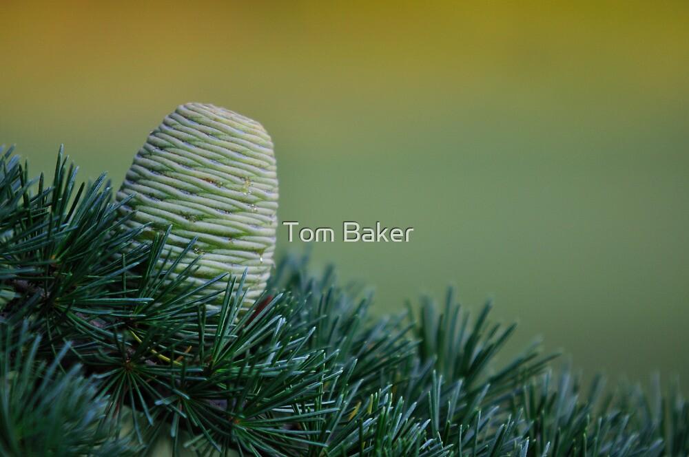 Himalayan Cedar Cone Evening Light by Tom Baker