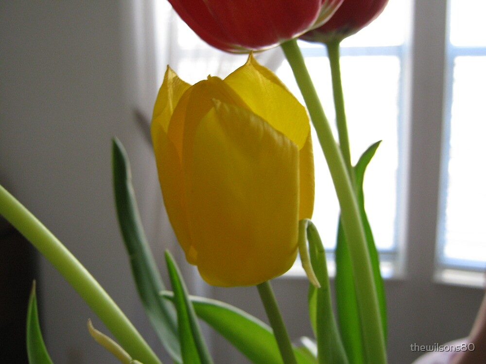 Tulips in Bloom by thewilsons80