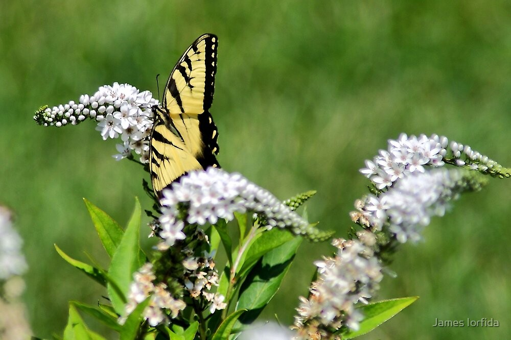 Butterfly by James Iorfida