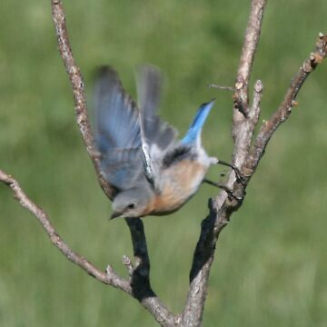 Bluebird Takeoff by ArtistDCB