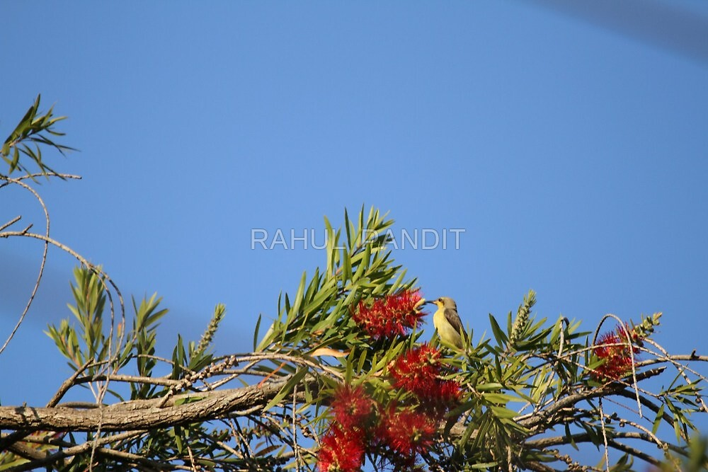 Female Sunbird by RAHUL  PANDIT
