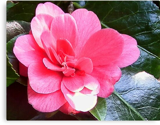 Pink Camelia by lynn carter