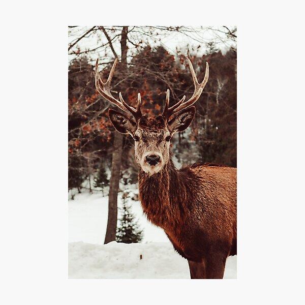 Elk photograph Photographic Print