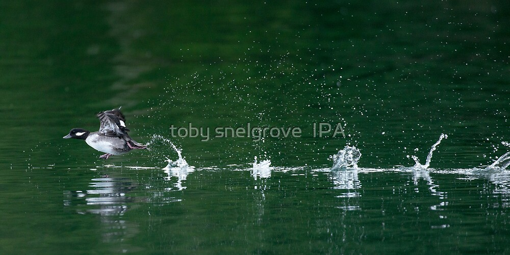Goldeneye Duck on Take-off by toby snelgrove  IPA
