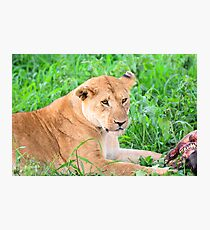 Lioness and kill Photographic Print