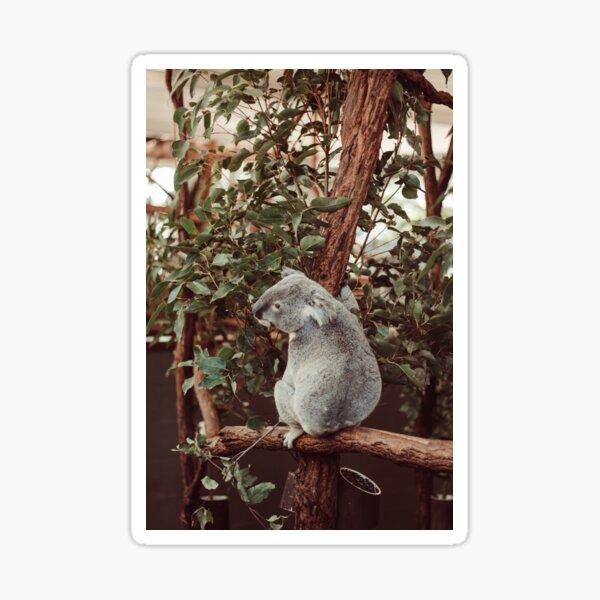 Koala in tree photograph Sticker