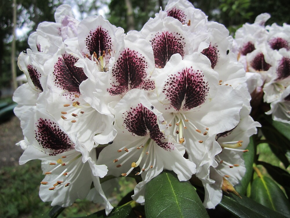 Rhododendrons by bodragonfly