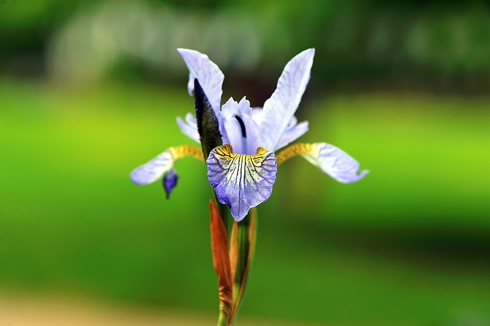 Irises by Moments In Time Photography