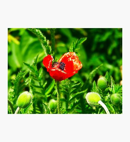Poppy (Velvia-Style) VRS2 Photographic Print