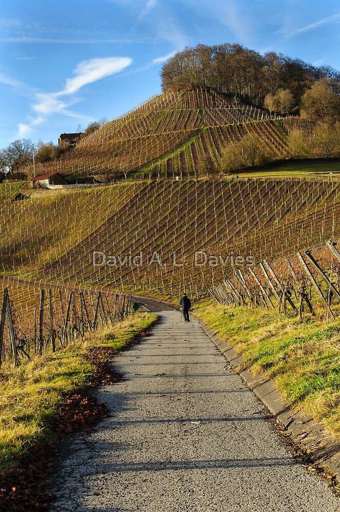 Stollberg, the highest vineyard in Franconia, Germany by David A. L. Davies