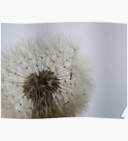 Blowing on Dandelion Seed  VRS2 Poster