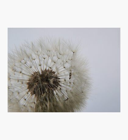 Blowing on Dandelion Seed  VRS2 Photographic Print