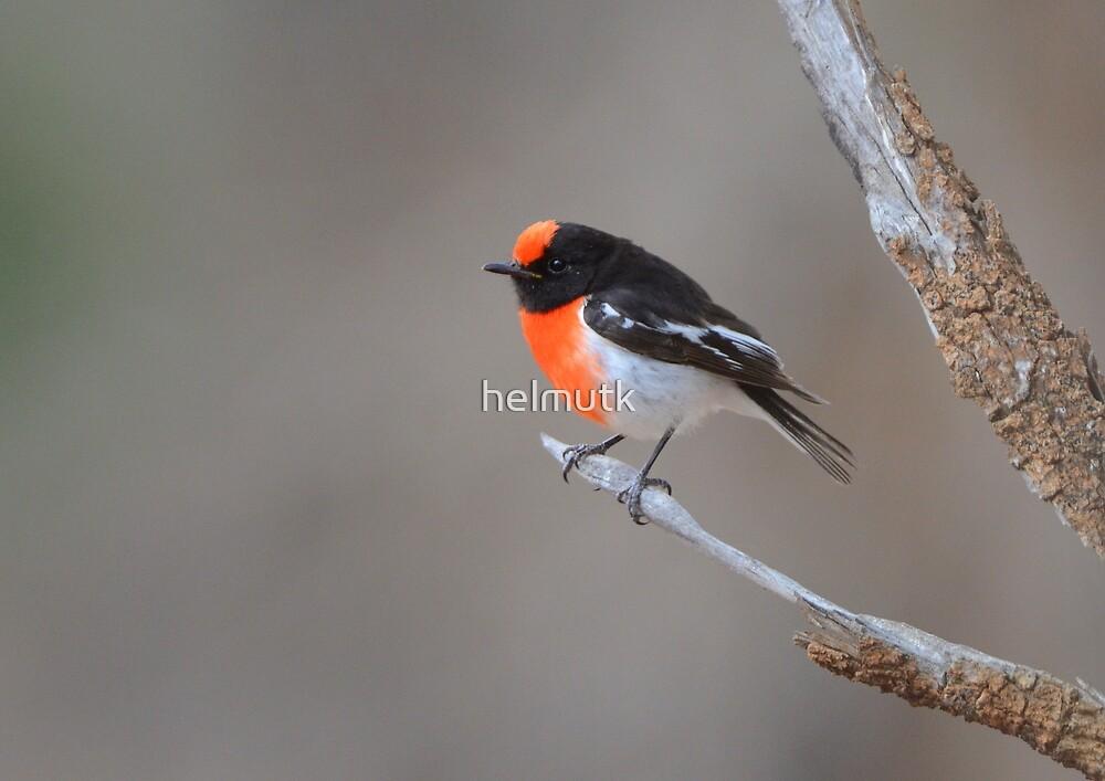 Red capped Robin  Flinders Ranges SA  by helmutk