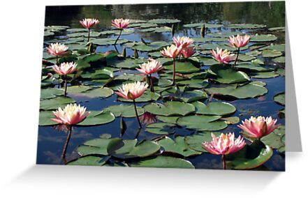Water Lilies at Bennetts Water Gardens by funkyjim13